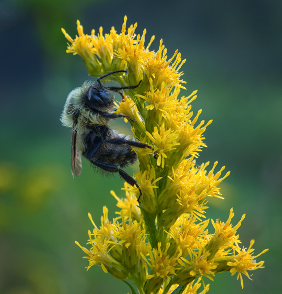 Bumble Bee on Goldenrod