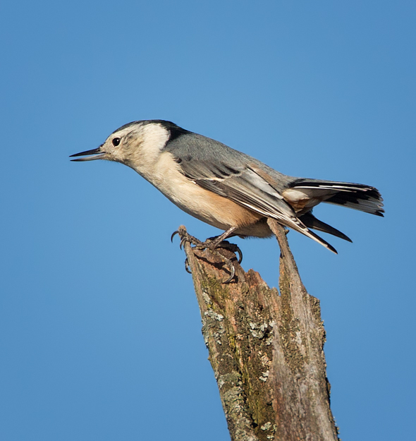 Nuthatch Sitting on Top of a Tree