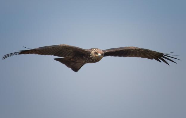 Black Kite, India