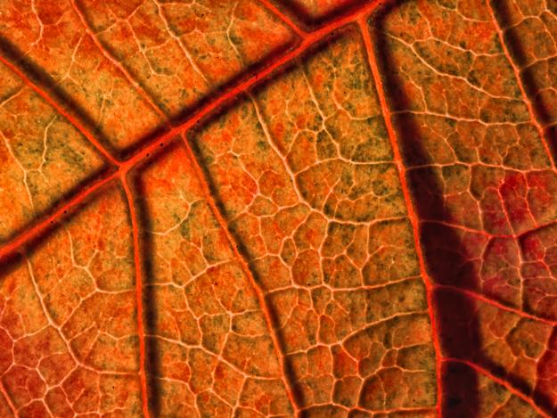 Poinsettia Leaf Macro