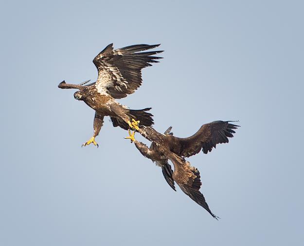 Bald Eagles Locking Talons Mid Air