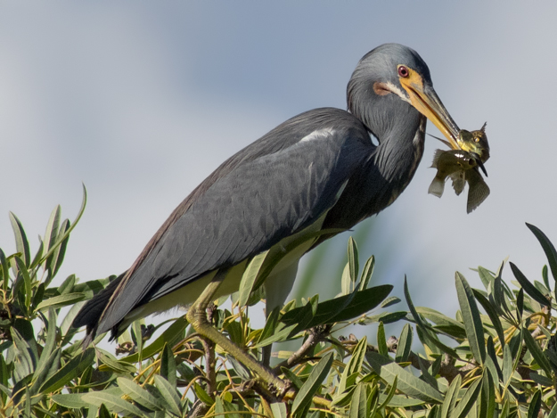 Tricolored Heron with 2 fish