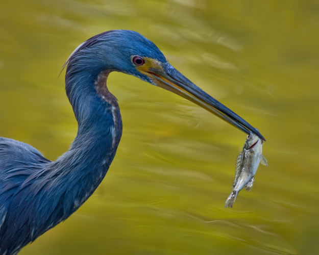 Tricolored Heron with a Fish