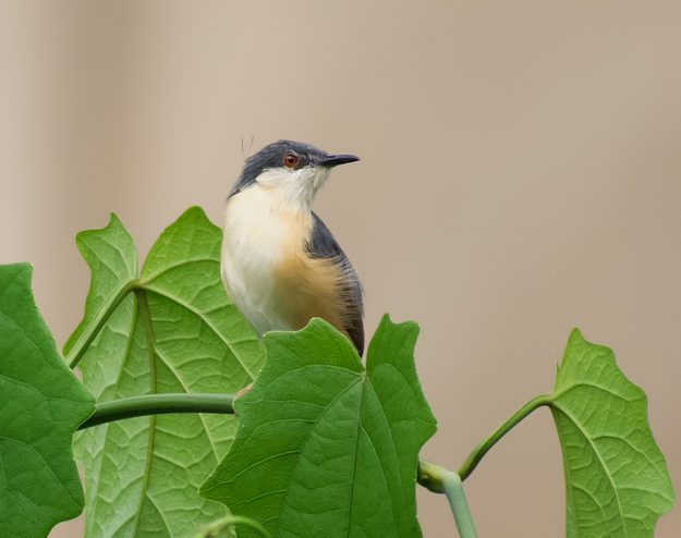 Ashy Prinia in the Leaves