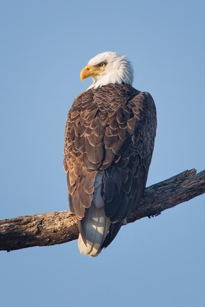 Sandy Ridge Bald Eagle