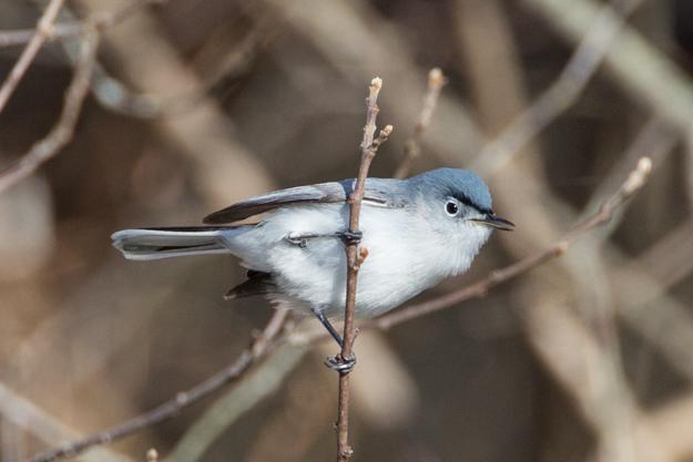 Blue-gray Gnatcatcher Before