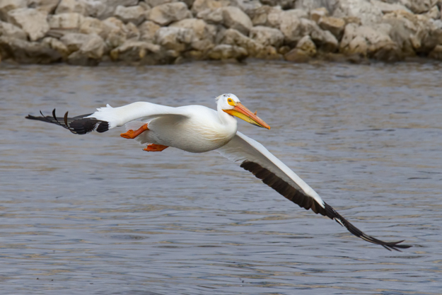 White Pelican Take Off