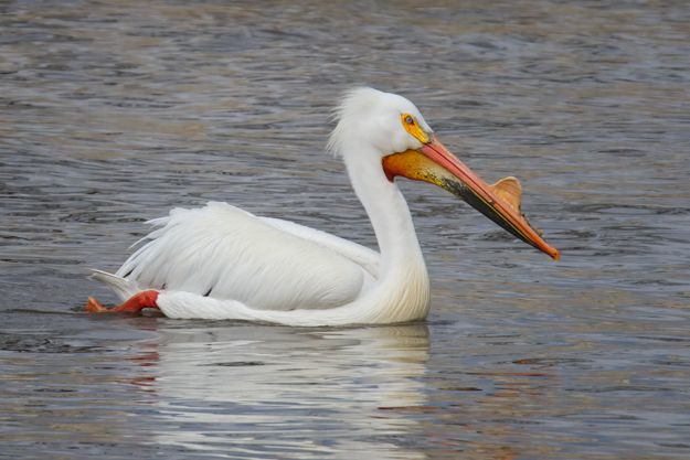 White Pelican on the Mississippi River