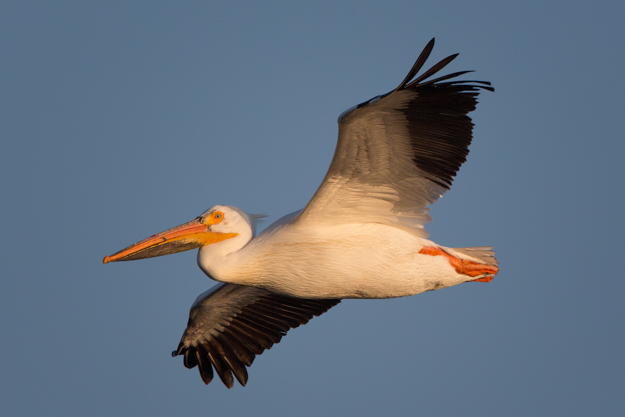 White Pelican in the Early Morning Light