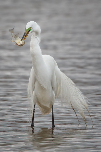 Great Egret with a Fish Dinner