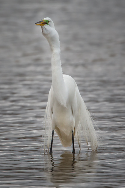 Great Egret Swallowing a Fish