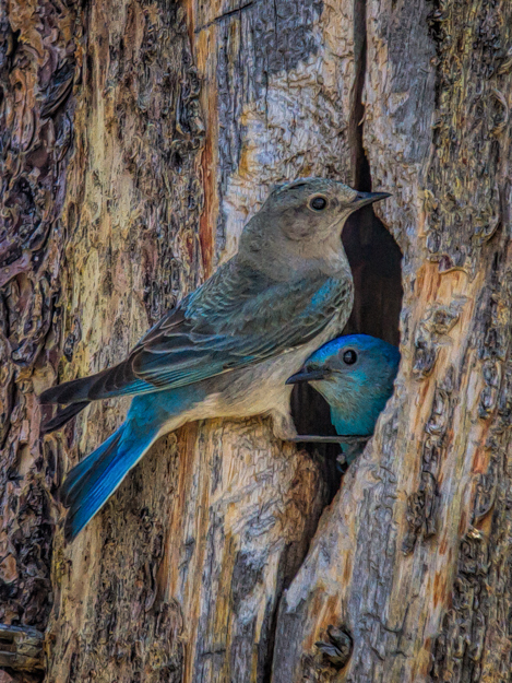 Mountain Bluebird Couple at the Nest