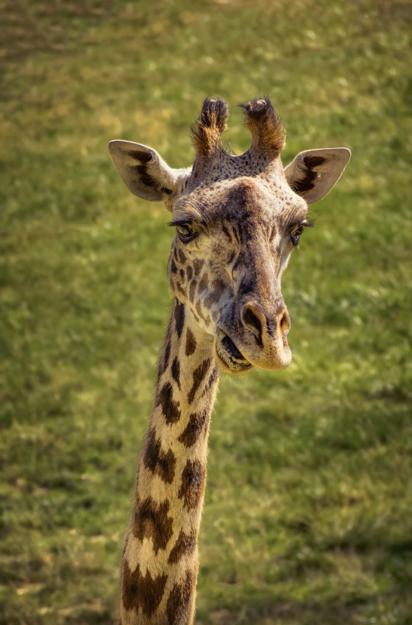 Retro Giraffe