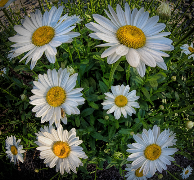 Daisy Patch Fisheye