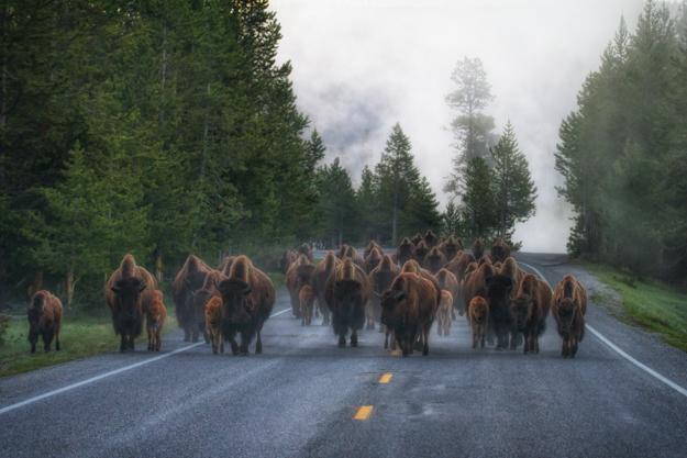 Yellowstone Bison Jam