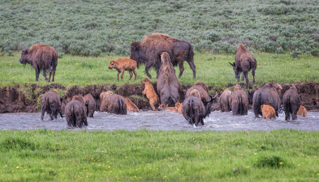 Bison Herd Crossing the Lamar River, Yellowstone