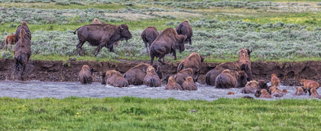 Yellowstone Bison River Crossing in the Lamar Valley