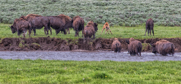 Bison crossing the Lamar River Yellowstone