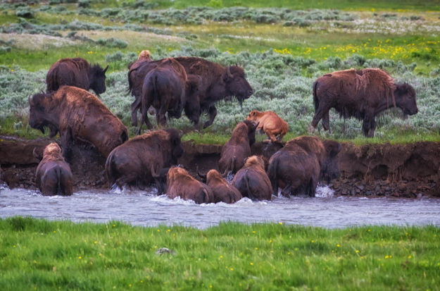Bison Climbing the Bank of the Lamar River in Yellowstone