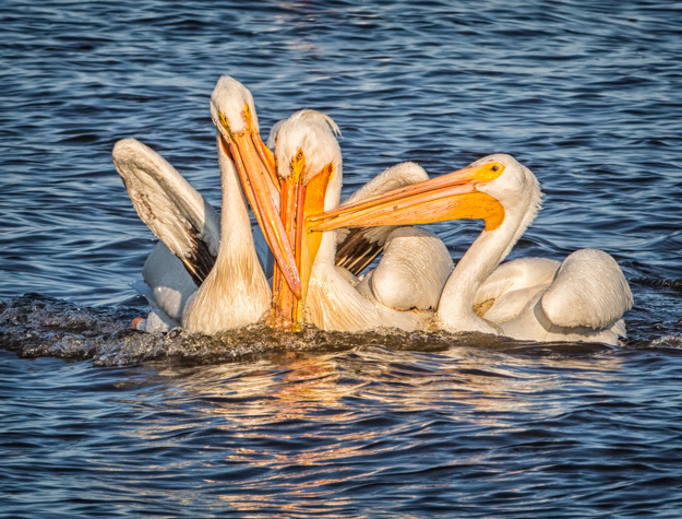 Pelicans Fighting for a Fish