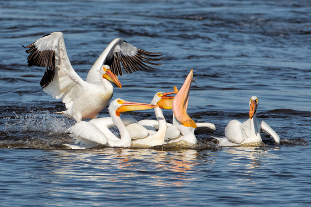 White Pelican Holding his Head High to Protect his Fish