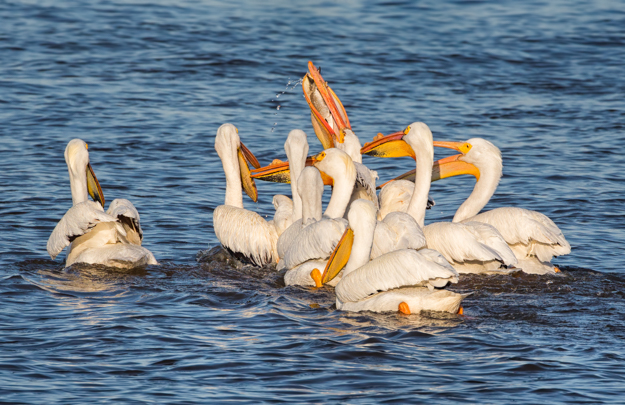 White Pelican Protecting his Fish