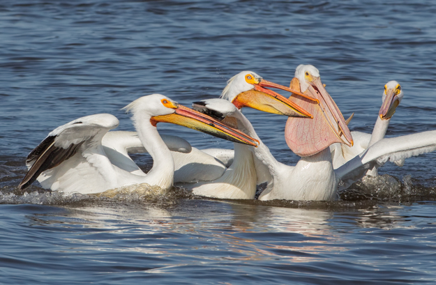 American White Pelicans Trying to Steal a Fish