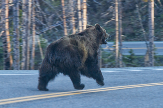 Boar Grizzly on the Run