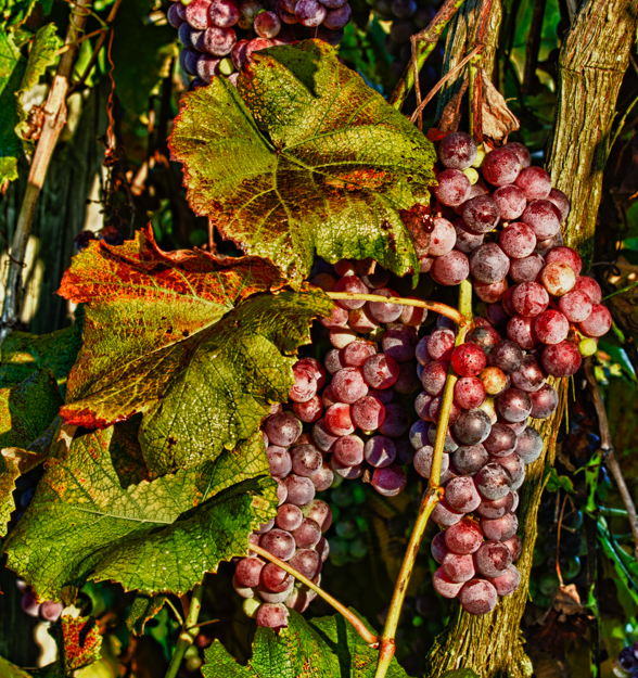 Autumn Grapes on the Vine before Clean Up