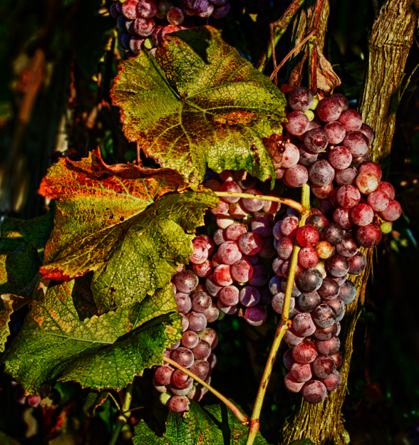 Autumn Grapes on the Vine After Clean Up