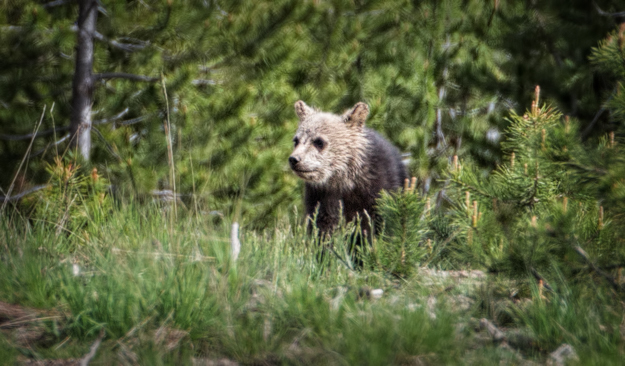 Yellowstone Grizzly Cub
