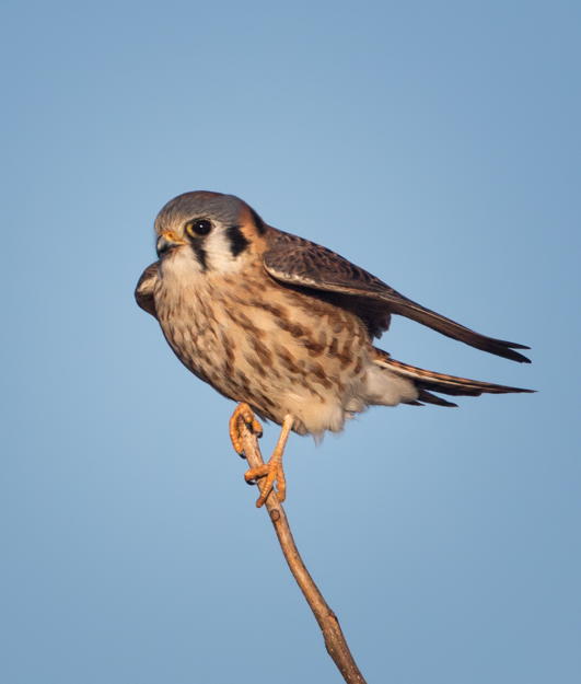 American Kestrel at the Top of the Tree