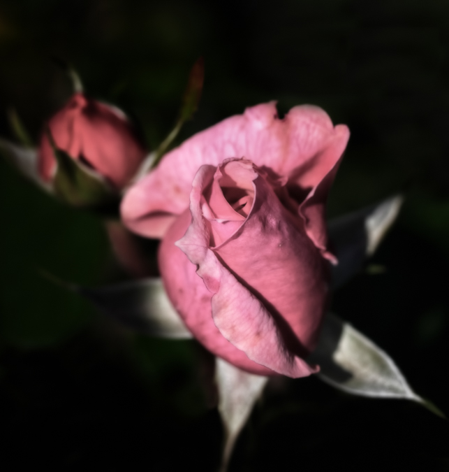 A Rose in the Shadows