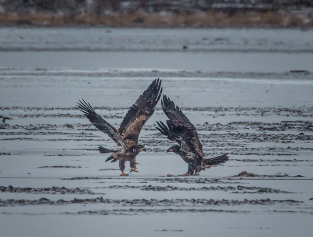 Juvenile Bald Eagles Fighting Over a Fish