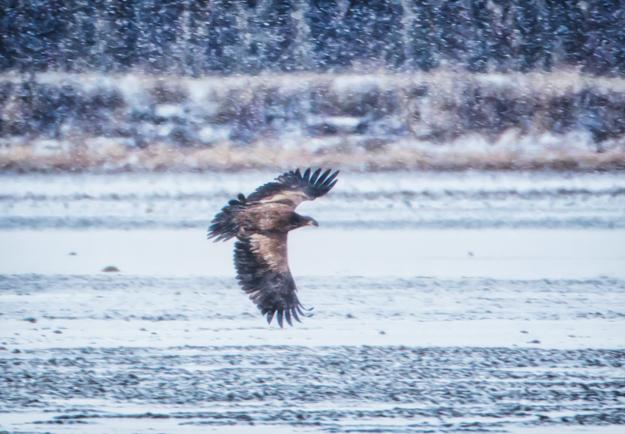 Juvenile Bald Eagle in a Snow Storm