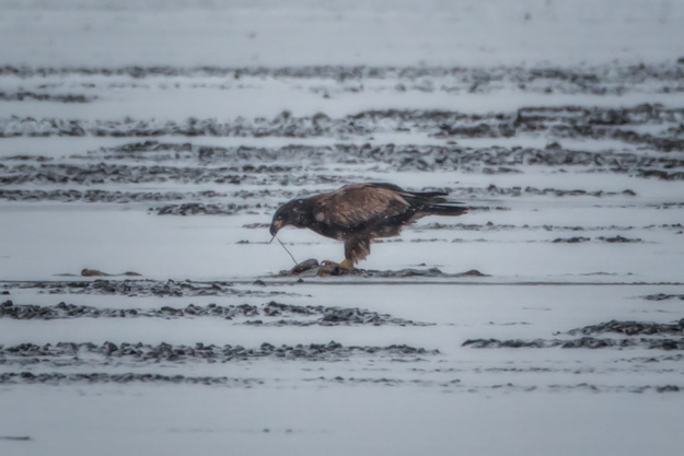 Juvenile Bald with Dinner on the Ice
