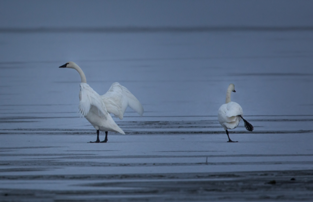 Tundra Swan Pair Dancing on the Ice