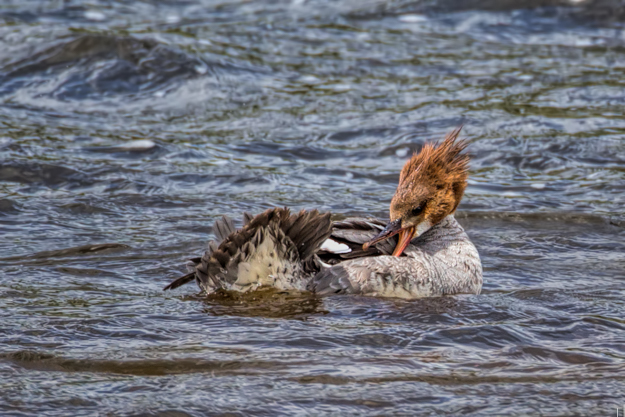 Female Red Breasted Merganser Preening herself on the Madison River