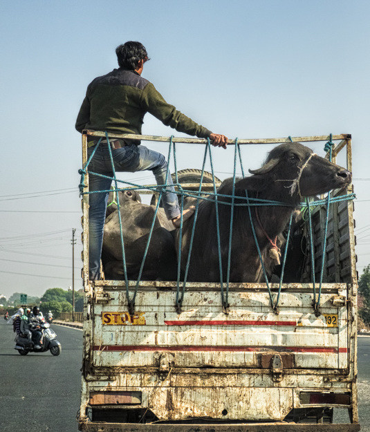 Buffalo in the Truck, India
