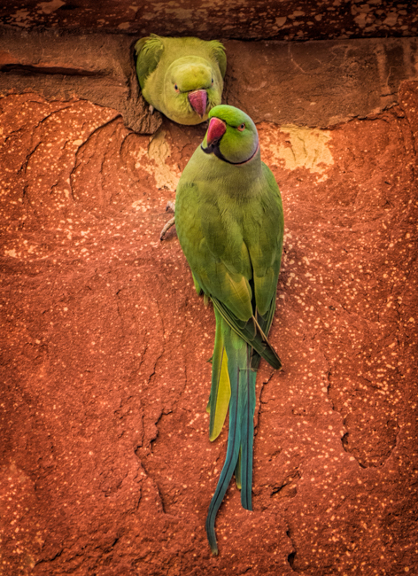 Rose-ringed Parakeet Couple at the Taj Mahal