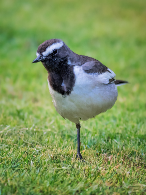 One Legged White-Browed Wagtail