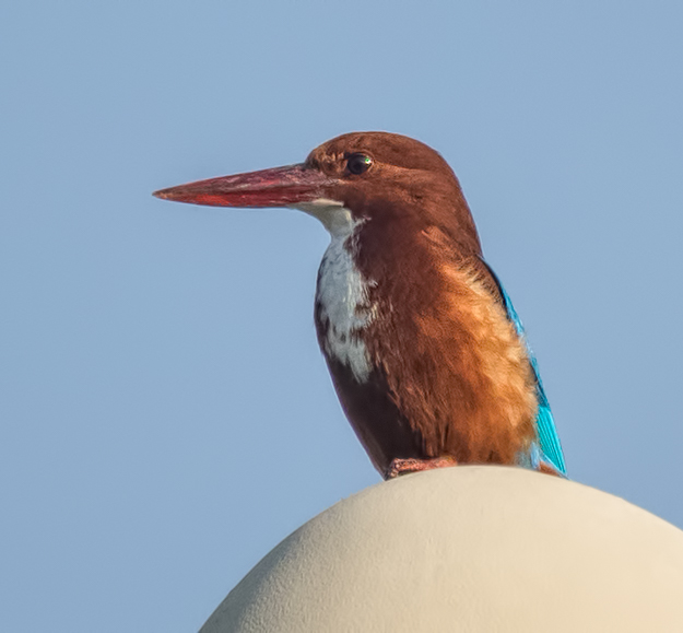 White-throated Kingfisher on a Light Pole