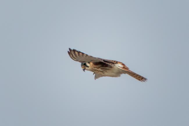 Hovering American Kestrel