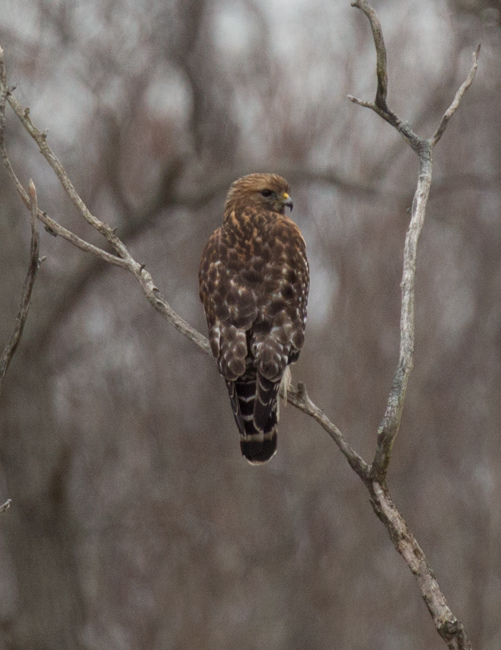 Red Shouldered Hawk Unprocessed