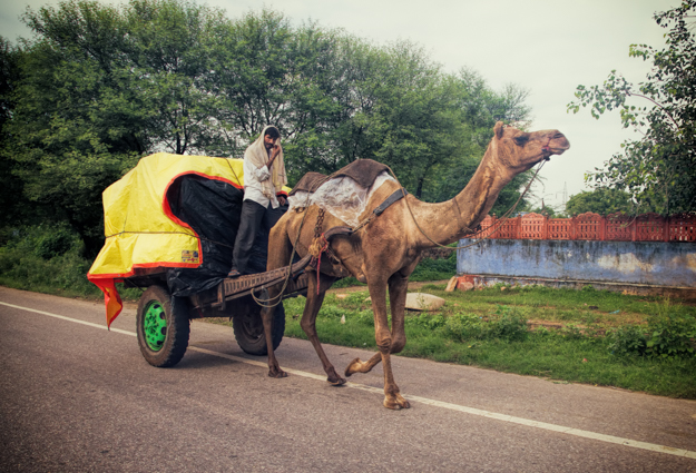 Camel Transportation in Rajasthan, India