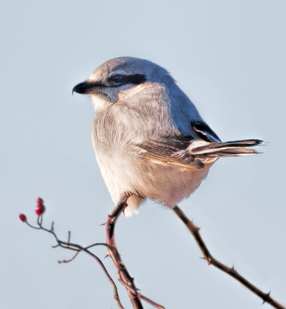 Northern Shrike in the Briers