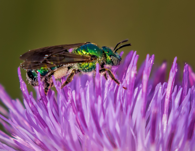 Cuckoo Wasp on a purple wildflower
