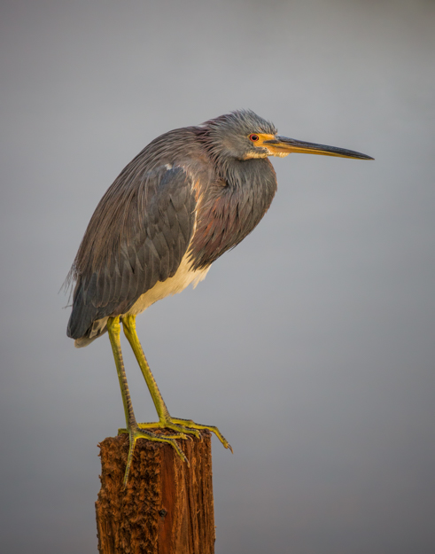 Tricolored Heron Posing on a Stump