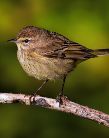 Palm Warbler Winter Colors