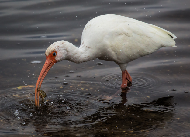 American White Ibis Fishing for Crabs
